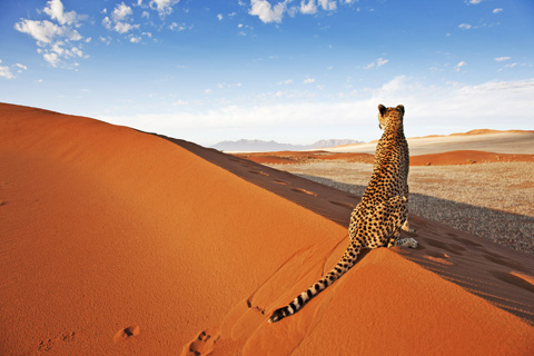 cheetah-on-sand-dune-namibia